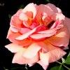 Róża &#039; Gospel &#039<br />; .  Makro .