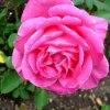 Róża &#039; Meibil &#039<br />; .  Makro .