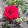 Różyczka!!😍🌹