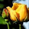 Ta róża jest tylko dla Ci<br />ebie :) tak dla każdego k<br />to tu do mnie zagląda:)