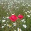 Polne kwiaty dla Ciebie Jolu wraz z filmikiem z pozdrowieniami ~❀~ (zdjęcia z telefonu) :: ~❀~ Kwiaty polne ~❀~ KWIATY POLNE: https://youtu.be/RBzpVzJNhYM              Pozdrawiam serdecznie !
