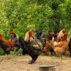 Szczęśliwe są kury przy t<br />ylu kogutach... ::