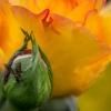 Amatorka róż