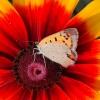 Motyllo