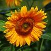 Słonecznikowe słoneczko d<br />la Was na powitanie
