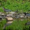 Dwie Green Heron :: Od pewnego czasu poluje n<br />a ujecie by w jednym kadr<br />ze zatrzymac dwie Green H<br />eron, nie jest to latwe g