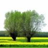Majowe wspomnienie :: Mazowieckie wierzby i rze<br />pak...     Oby do maja...