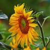Słonecznikowe słoneczko d<br />la Ciebie w rewanżu Beatk<br />o  :: Miłego oraz pogodnego dni<br />a dla miłych gości