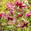 lilia drzewiasta Scarlet <br />Delight