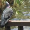 :: Obrażony gołąbek