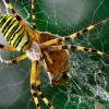 W sieci tygrzyka