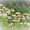 Kwiaty to najcudowniejsze<br /> skarby , którymi natura <br />obdarzyła ziemię ........<br />.......pozdrawiam wszystk<br />ich flogowiczów po krotki<br />ej nieobecności