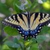 RODZINA PAZIOWATYCH DLA C<br />ARMEN :: To sa motyle z rdziny paz<br />iowatych jakie spotkalem <br />w srodowisku naturalnym w<br /> Stanach w okolicach Wasz