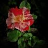 róża - taka zwykła