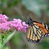 MONARCZA   dla CARMEN :: Danaus plexippus najwieks<br />zy wedrownik wsrod owadow<br />, od  wrzesnia pokonuje t<br />rase z Kanady do Meksyku