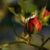 Różyczka przy zachodzie s<br />łońca..
