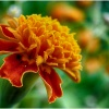 Śmierdziuszki ogródkowe! :: Dziś tak o! Kwiatuszkowo,<br /> ogródkowo, kolorowo! Bo <br />taki mam kolorowy nastrój<br />. I urlop coraz bliże