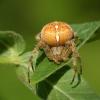:: i jeszcze jeden i jeszcze<br /> raz:))) wczoraj na łące <br />spotkałam jeszcze takiego<br /> pająka:) trochę mi