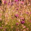 Dzikie kwiaty. ::