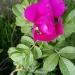 ,Dla Ciebie sąsiedzie,,,,<br />z mojego ogrodu...pozdrow<br />ionka serdeczne....dla ws<br />zystkich Flo... ::