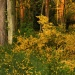 Lasy i bory zmieniają się<br /> w ogrody... ::