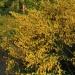 Żarnowiec miotlasty... :: http://ziolowyporadnik.pl<br />/ziola/zarnowiec-miotlast<br />y/ http://zimorodek.com/m<br />arnowiec-miotlasty-citisu