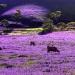 W krainie fioletowych łąk :: Ta fioletowo kwitnaca roś<br />lina jet w Australii ziel<br />skiem przywleczonym z poł<br />udniowej Europy - prawd