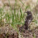 Kląskawka zwyczajna (Saxicola rubicola) ;  28 - samica, i na ziemi, i w powietrzu