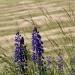 nie tylko maki, ale i łubiny zdobią nasze pola