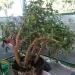 Moje drzewko szczęścia dziwnie zareagowało