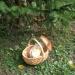 W koszyczku z korzenia sosny...