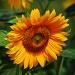 Słonecznikowe słoneczko d<br />la Was na powitanie  :: Miłego oraz pogodnego dni<br />a dla miłych gości