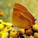 Pazik brzozowiec - w  pod<br />ziękowaniu za wizyty, plu<br />siki i miłe słowa :: Pazik brzozowiec - owad z<br /> rzędu motyli, z rodziny <br />modraszkowatych. Występuj<br />e jedno pokolenie.  Mot