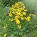 żółte kwiatki nie z mojej rabatki