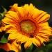 Słonecznikowe słoneczko dla Ciebie w rewanżu