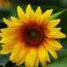Słonecznikowe słoneczko n<br />a niepogodę i deszcz   :: Miłego oraz pogodnego dni<br />a dla miłych gości
